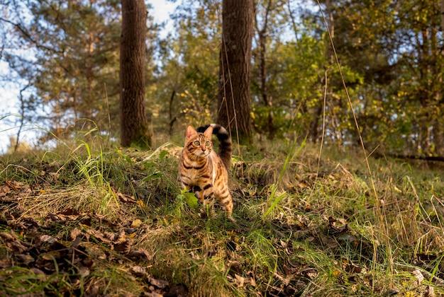 Po lesie przechadza się kot domowy rasy bengalskiej.