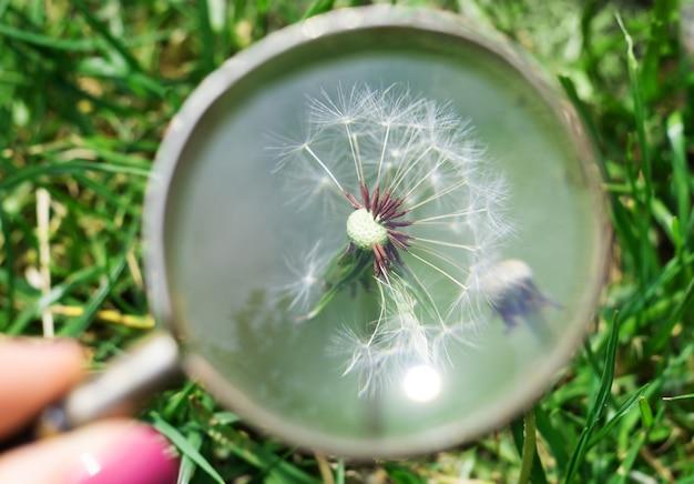 Po południu eksploruj biały kwiat mniszka lekarskiego przez szkło powiększające w wiosennym ogrodzie