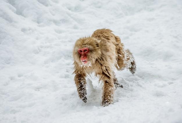 Po śniegu biegają makaki japońskie. japonia. nagano. jigokudani monkey park.