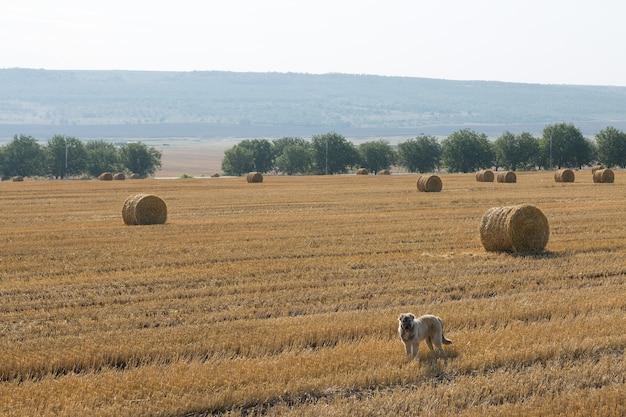 Po żniwach pies stoi na polu pszenicy. duże okrągłe bele słomy.