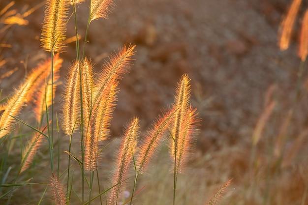 Poaceae trawy kwiat w promieniach powstającego zmierzchu tło.