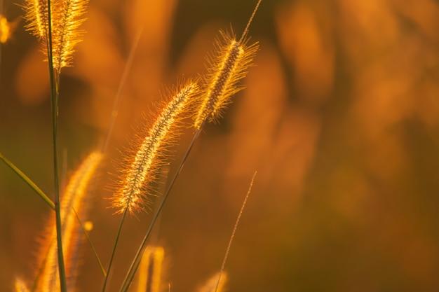 Poaceae trawy kwiat w promieniach powstający zmierzchu tło.