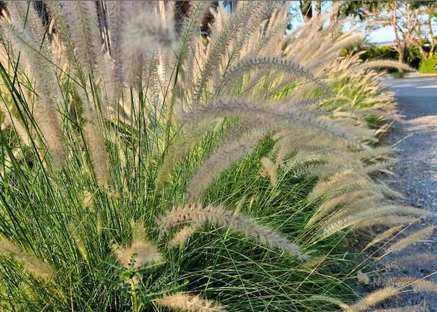 Poaceae w ogrodzie