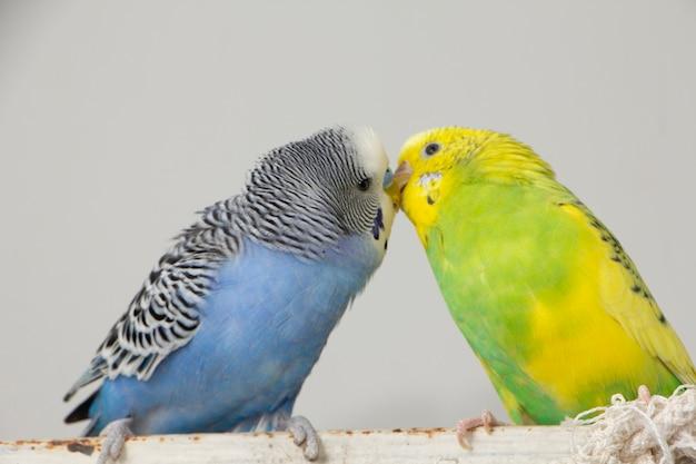 Pocałuj faliste papugi. małe ptaki dotknęły się nawzajem dziobów