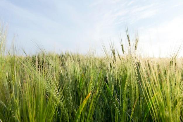 Pochmurna pogoda na polach uprawnych z zielonym jęczmieniem z długim