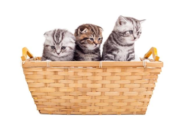 Poczucie spokoju i komfortu. trzy urocze kocięta szkockie zwisłouchy siedzą przy koszu