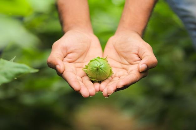 Pod ręką bawełniany owoc