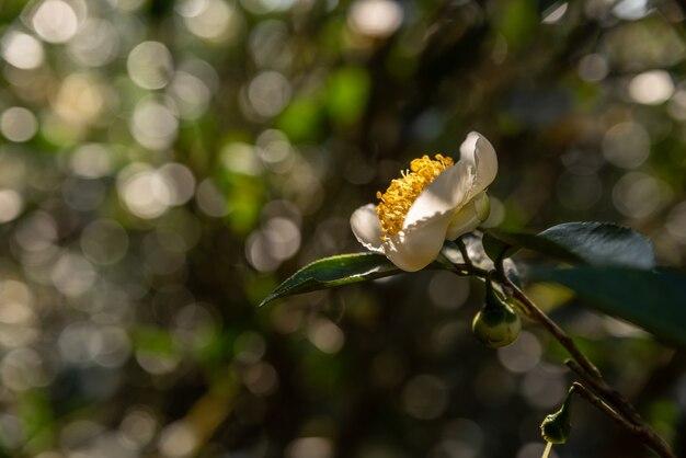 Pod słońcem w dzikim lesie herbacianym rosną herbaciane kwiaty z białymi płatkami i żółtymi rdzeniami kwiatów