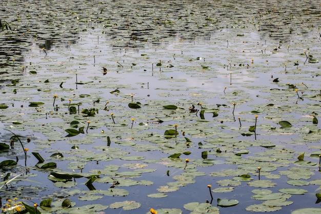 Podkładki lilii z żółtymi pąkami wzdłuż brzegu jeziora w okresie letnim