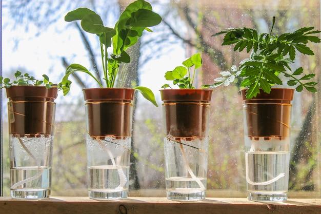 Podlewanie kaczek. rośliny w doniczkach na szklankach stoją na półce w oknie