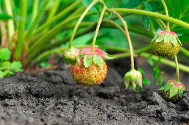 Podlewanie krzew truskawkowy