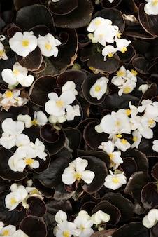Podniesiony widok delikatne białe kwiaty begonii