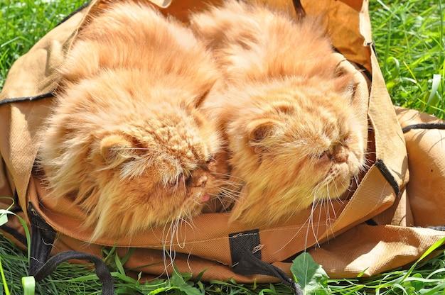 Podobne czerwone śmieszne koty perskie w torbie na zewnątrz na zielonej trawie
