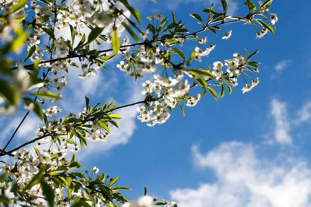 Podświetlany za pięknymi białymi kwiatami wiśni wiosenny, kwitnący sad pozwalający na uzyskanie dużego zbioru czerwonych jagód