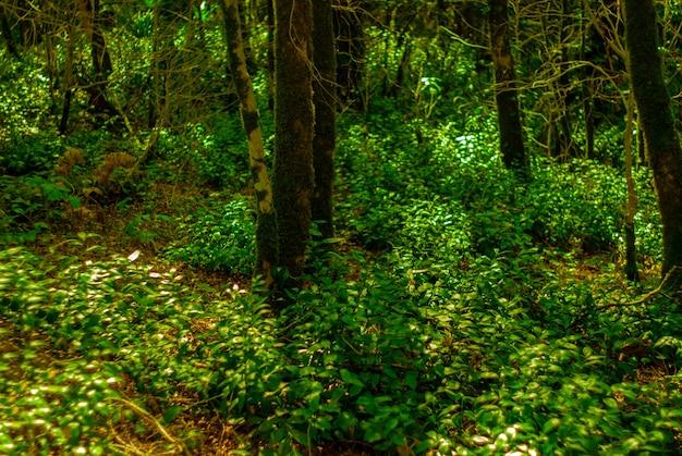 Podszyt z subtropikalnego lasu cisowego bukszpanu