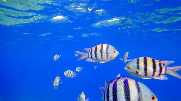 Podwodne królestwo pływających ryb z morza czerwonego