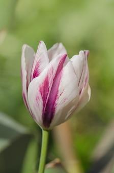 Podwójnie kolorowy czerwony biały tulipan