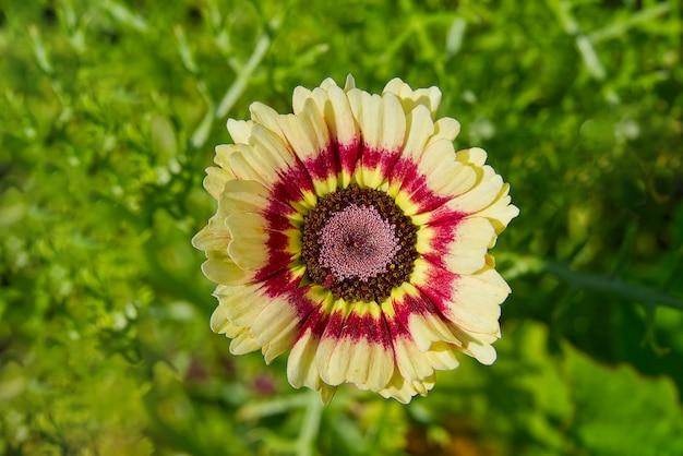 Podwójny kolor cynia pospolita w ogrodzie, zbliżenie.