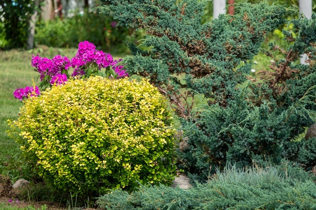 Podwórko z grupą krzewów i roślin: jałowiec, floks, piwonia, tuja, berberys przed ścianą domu. projekt ogrodu