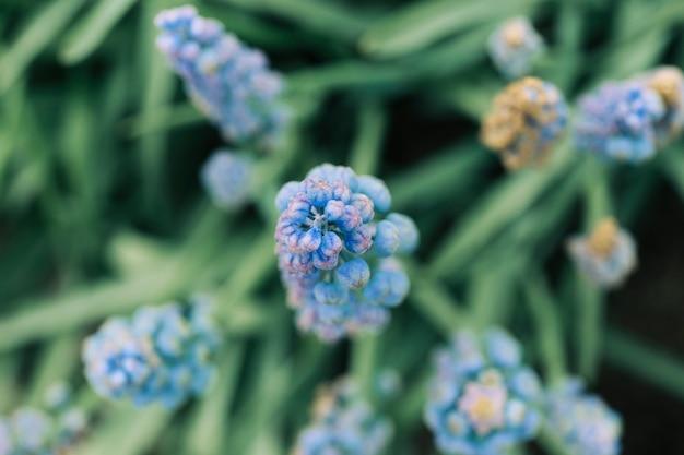 Podwyższony widok pospolity gronowego hiacyntowego kwiatu pączek