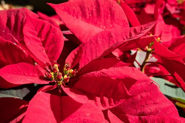 Poinsettia kwiaty z czerwonymi liśćmi, zdjęcia zbliżenie na zewnątrz