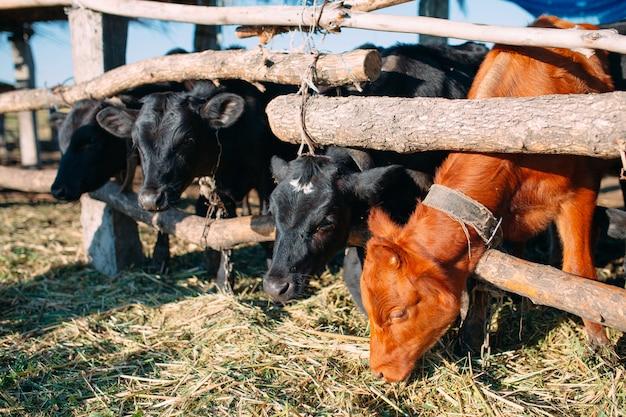 Pojęcie rolnictwa, hodowli i hodowli zwierząt. stado krów w oborze na fermie mlecznej