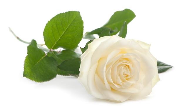 Pojedyncza biała róża leżącej na białym tle