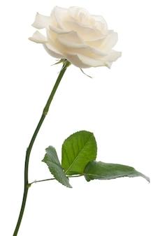 Pojedyncza biała róża stojąca przed białym tłem