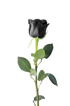 Pojedyncza czarna róża na białym tle