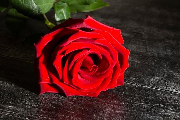 Pojedyncza duża piękna czerwona róża z kroplami deszczu na czarnym tle