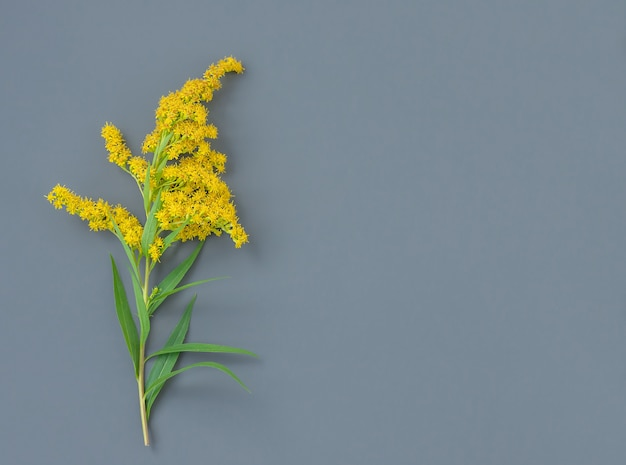 Pojedyncza gałązka mimozy na szarym tle