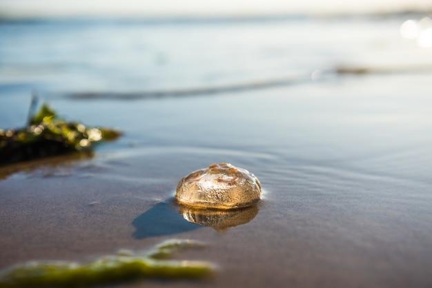 Pojedyncza meduza księżycowa leżąca na plaży morza bałtyckiego podczas zachodu słońca