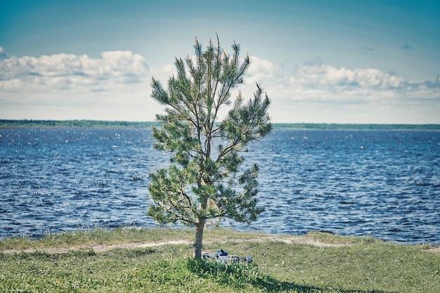 Pojedyncza młoda sosna rośnie na zielonym brzegu na tle morza