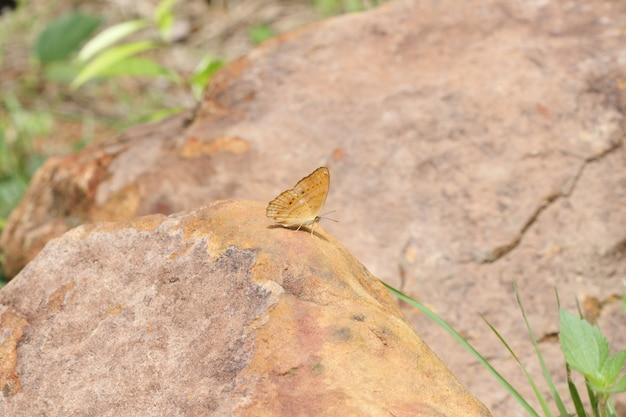 Pojedyncza motylia łasowanie sól na ziemi przy ssanie w żołądku sida parkiem narodowym, tajlandia