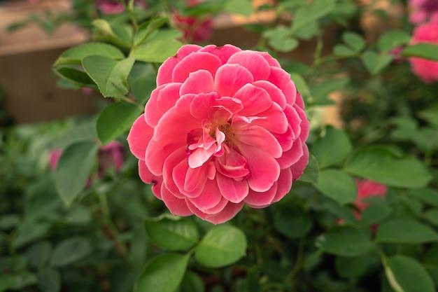 Pojedyncza różowa róża rosnąca na roślinie. rosa gallica
