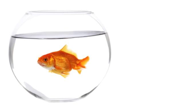 Pojedyncza złota rybka w akwarium