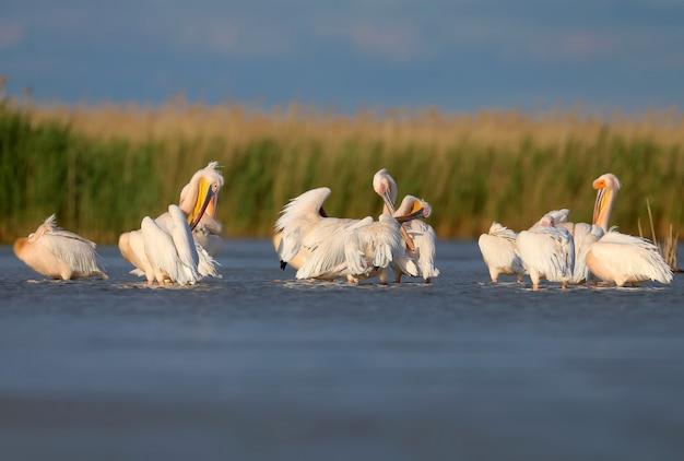 Pojedyncze i grupowe zdjęcia pelikana białego (pelecanus onocrotalus) w naturalnym środowisku.