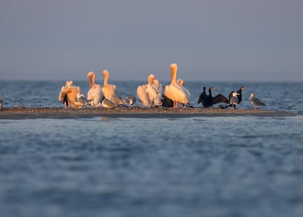Pojedyncze i grupy pelikana białego (pelecanus onocrotalus) są fotografowane stojąc w błękitnej wodzie na tle zielonej roślinności wodnej w delikatnym wieczornym świetle.
