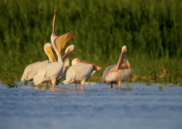 Pojedyncze i grupy wielkich białych pelikanów stoją w błękitnej wodzie