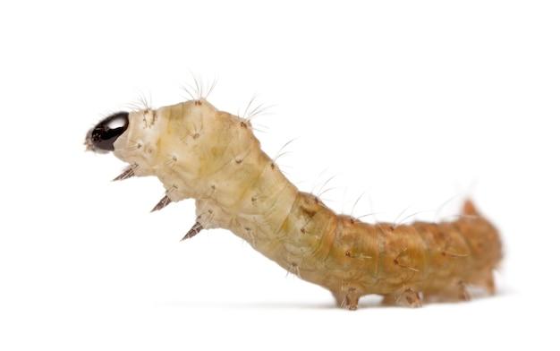 Pojedyncze larwy jedwabników bombyx mori