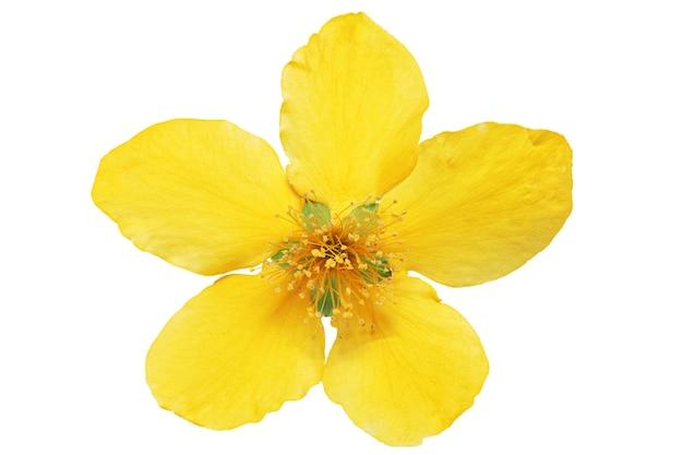 Pojedyncze marsh marigold żółte kwiaty na białym tle.