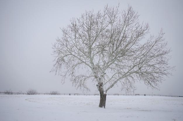 Pojedyncze nagie drzewo w parku pokrytym śniegiem