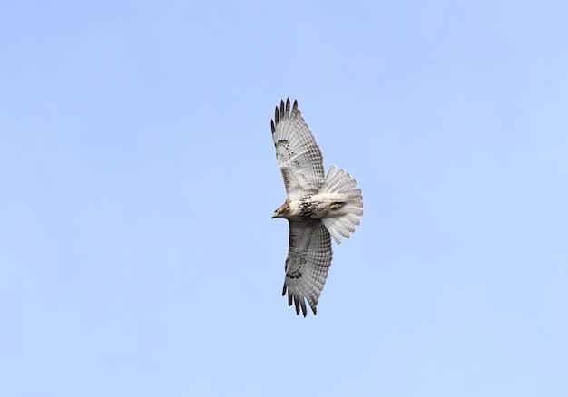 Pojedyncze ujęcie latającego jastrzębia na błękitnym niebie