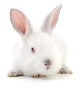 Pojedyncze zdj? cia z bia? ego królika bunny