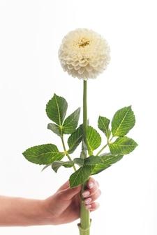 Pojedynczy biały kwiat dalii w kobiecej dłoni na białej ścianie