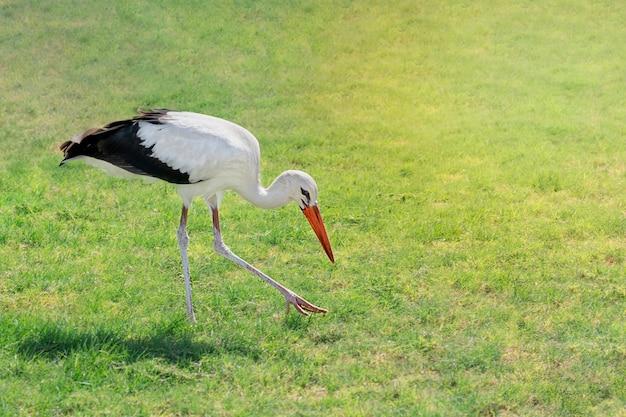 Pojedynczy czarno-biały ptak ciconia z rodziny bocianów z grubym czerwonym dziobem spacerujący po zielonym trawniku