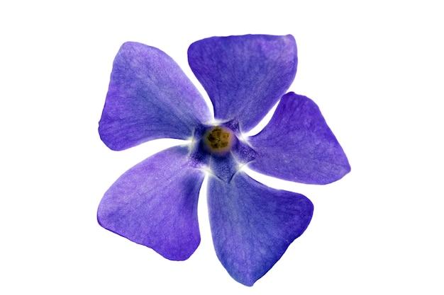 Pojedynczy fioletowy kwiat. zbliżenie na białym tle. na białym tle.