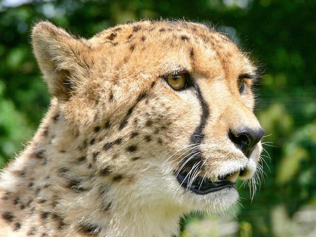 Pojedynczy gepard na zewnątrz w środowisku zoo