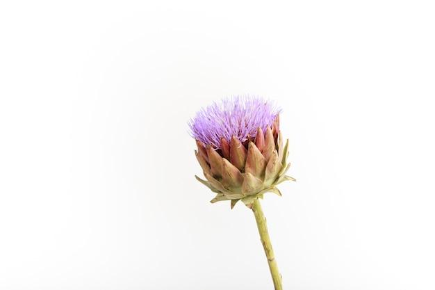 Pojedynczy kwiat karczocha na białej ścianie, selektywna ostrość