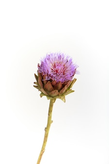 Pojedynczy kwiat karczocha na białym tle, kartka z życzeniami, selektywna ostrość